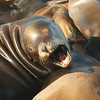 Pier 39 Sea Lions : 